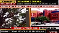 Sekawanan Monyet Bawa Kabur Sampel Tes Darah COVID-19