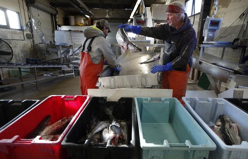 Penyortiran Ikan di Portland, Maine, AS
