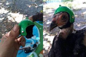 Cegah Celaka Ketiban Durian, Pria Taiwan Ciptakan Helm untuk Ayam