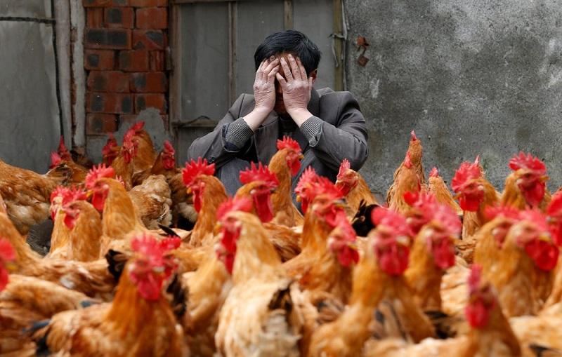 Peternakan ayam berpotensi sebarkan flu burung jenis baru