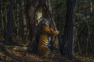 Foto Langka Harimau Siberia Peluk Pohon Menangkan 'Wildlife Photographer of the Year'
