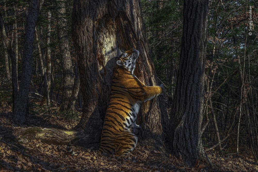 Foto Langka Harimau Siberia Peluk Pohon Menangkan 'Wildlife Photographer of the Year'
