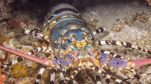 Laut Indonesia Miliki Potensi Lobster Terbesar di Dunia
