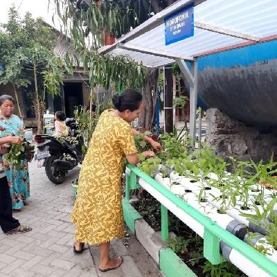 Panen sayur hidroponik
