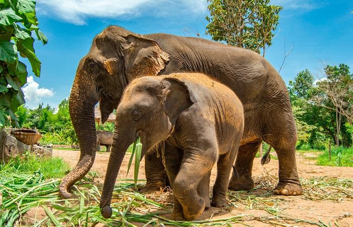 Sama dengan Manusia, Kemandulan Gajah Asia Tidak Terkait Obesitas