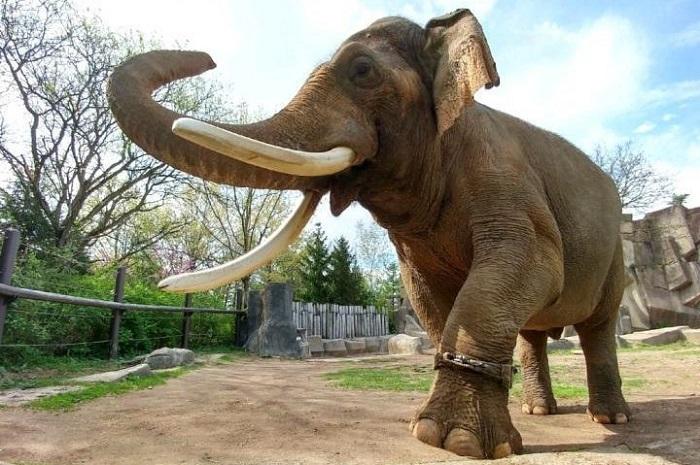 Hank, gajah jantan Asia