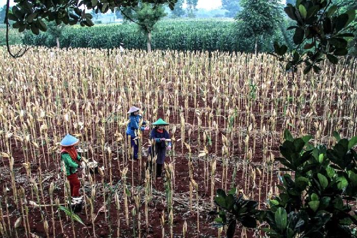 Pertanian jagung di Lamongan