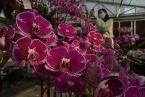 Lesu, Pasar Bunga di Hong Kong Sambut Imlek Tahun ini