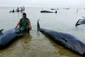 Pakar Biologi ITS Jelaskan Penyebab Puluhan Paus Terdampar di Bangkalan