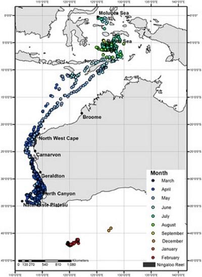 Peta pergerakan migrasi paus tiap bulannya