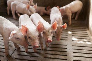 Pekerja di Peternakan Lebih Beresiko Terpapar 'Superbug'
