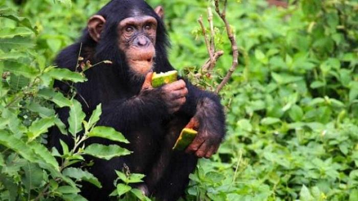 Simpanse makan buah