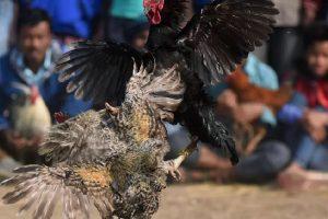 Penggemar Sabung Ayam Tewas Terkena Sabetan Taji Gacoannya