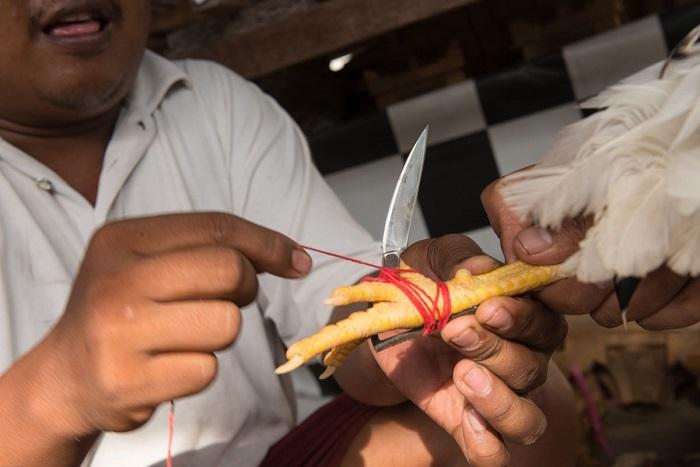 Taji ayam aduan diberi pisau