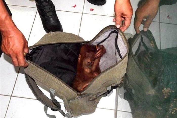 Bayi orang utan di black market