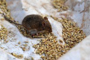 Wabah Hama Tikus Serang Penjara, Ratusan Napi di Australia Diungsikan